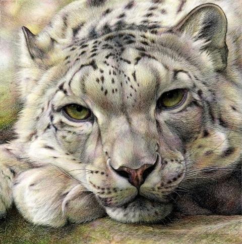Max500_snow_leopard__low_res_