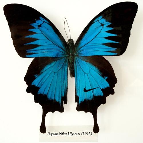 Papilio Nike Ulysses image