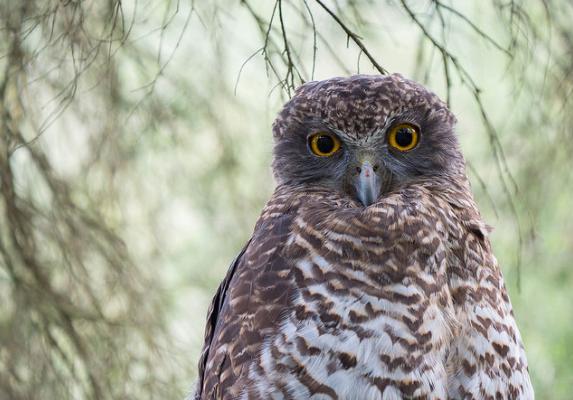 800 mm Owl Test image