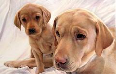 Labrador Puppies image