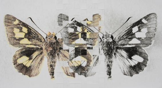 Trapezites eliena, 2008 image