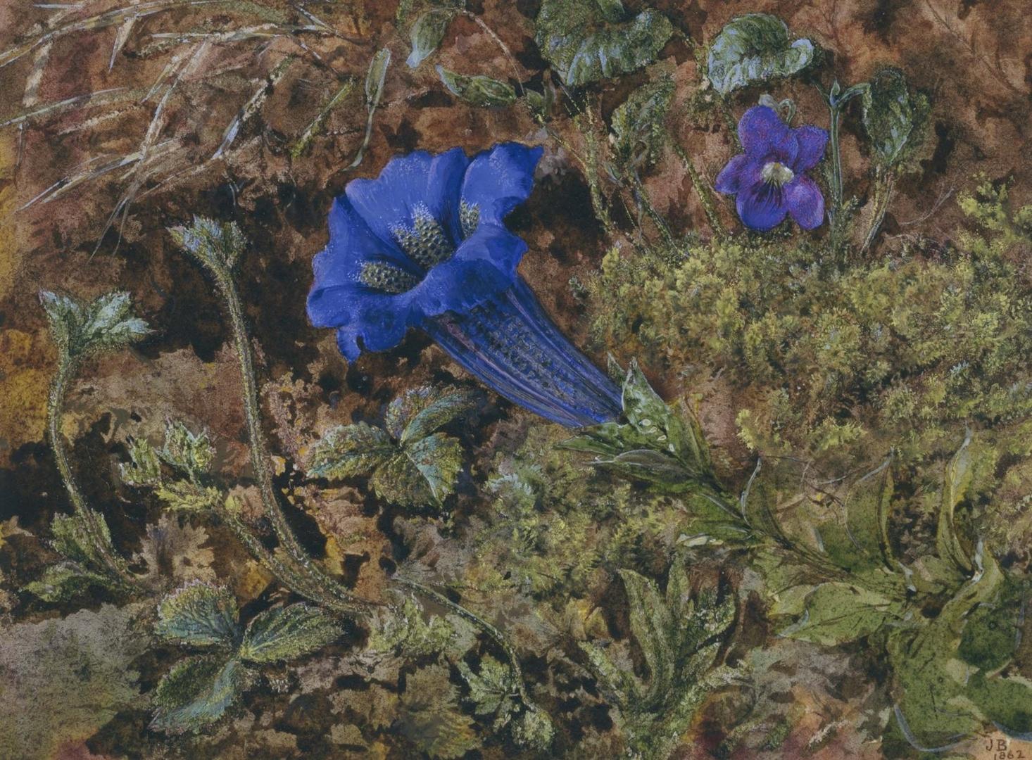 Gentian 1862 image