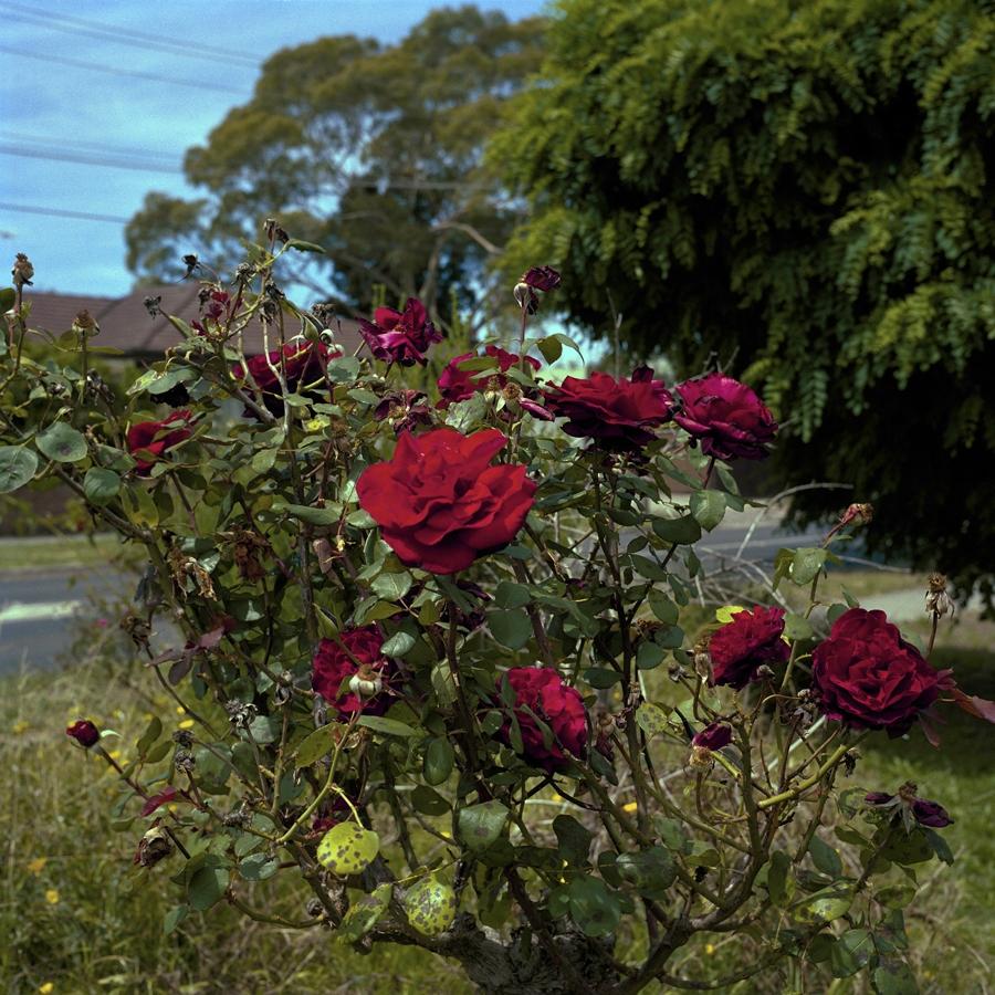 Diseased Roses image