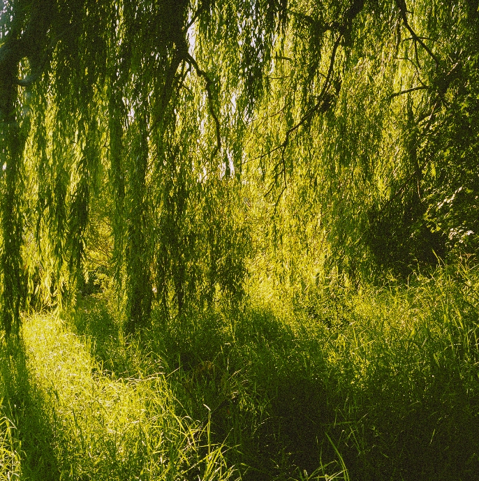 Under the Weeping Willow image
