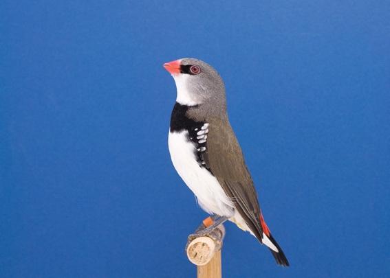 Diamond Sparrow #1 image