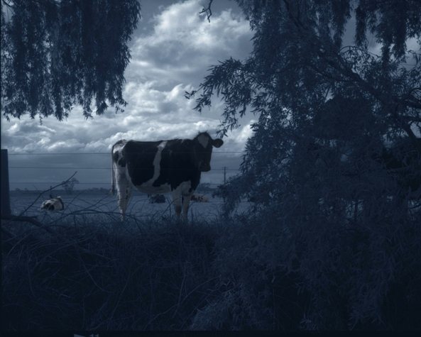 Untitled (cow) image