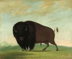 George Catlin's American Buffalo image