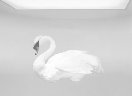 Study of a swan, Cygnus bewickii image