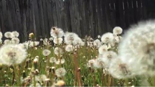 Dandelion Movie image
