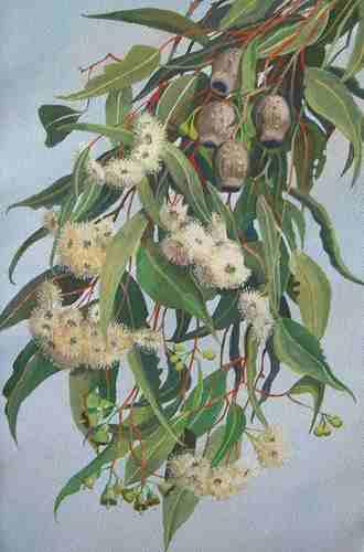 Gum Leaves image
