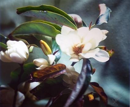 Magnolis 2 image