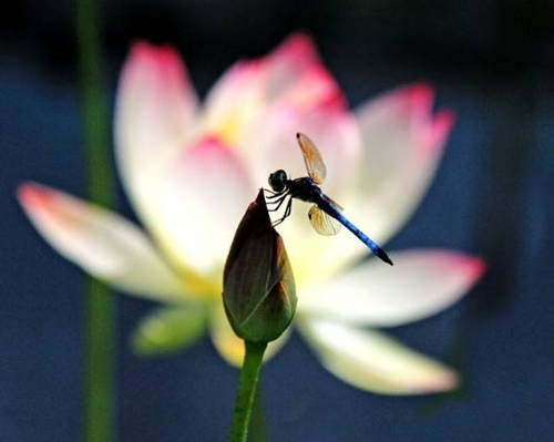Andrea Braunfeld, Dragon Fly Resting, Archival Pigment Print, 16'' x 20'' image